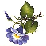 small morning_glory.jpg (7267 bytes)